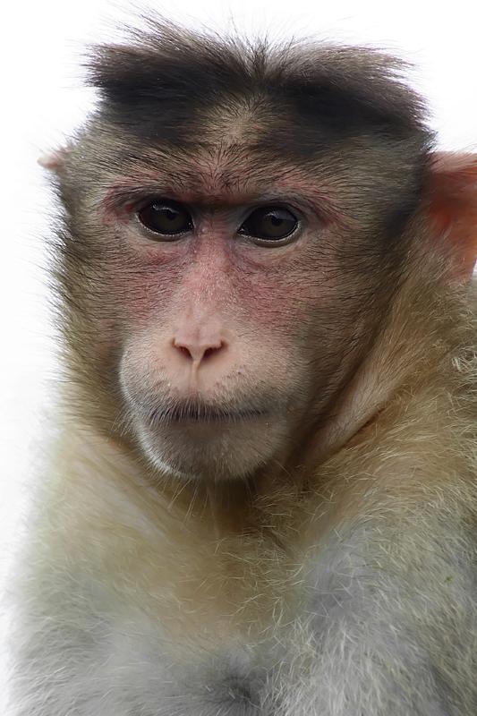 The monkey at Monkey Point, Khandala I