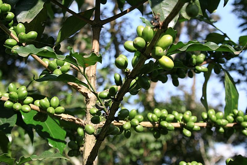 Cofee plantation Munnar Kerala