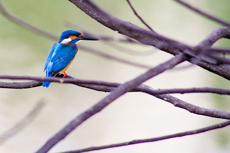 Kingfisher Bird at Lotus Pond, Hyderebad