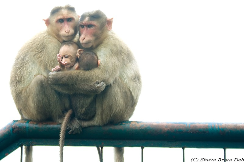 A small family of monkey