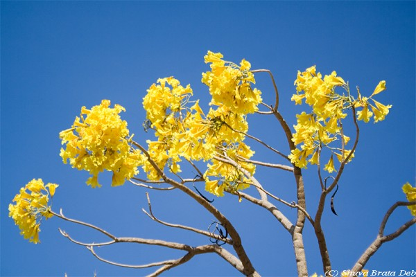 Some yellow flower tree.