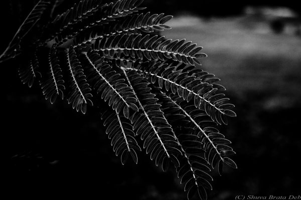 Dark leaves
