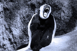 Angry Capuchin monkey