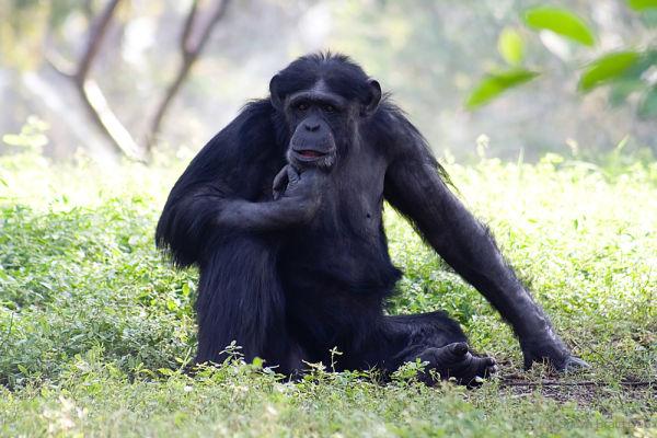 Attitude (Orangutan)