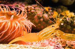 Sea Anemone and Shrimp