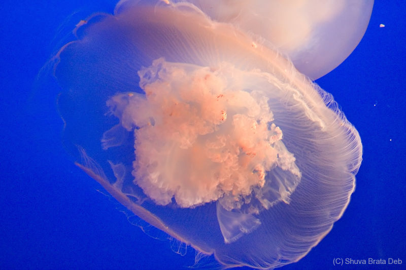 Jelly Fish IV