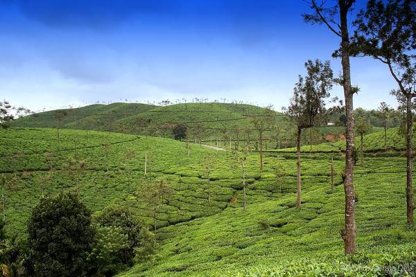 Wayanad Tea Gardens