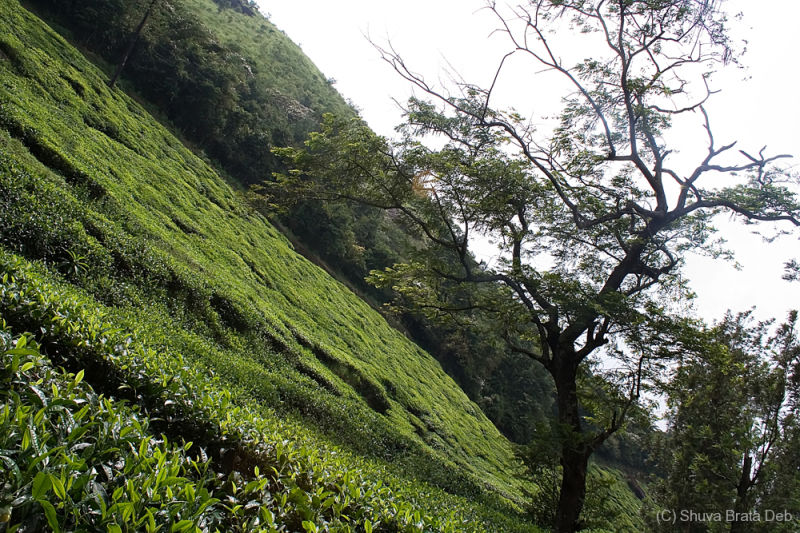 Tea Gardens at Wayanad
