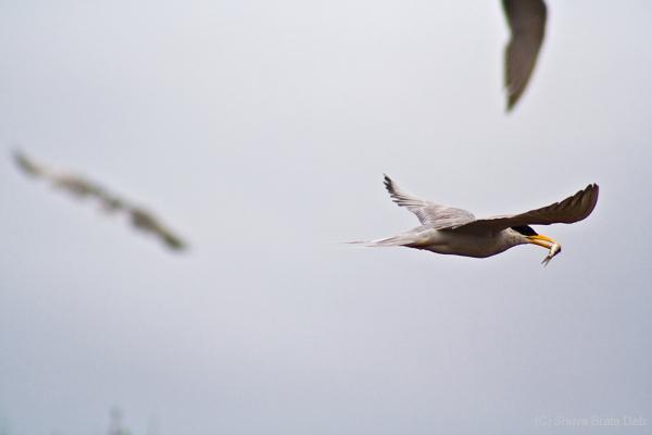 River Tern I/VI