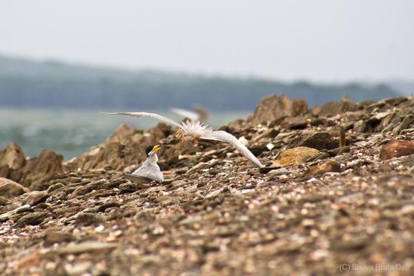 River Tern IV/VI