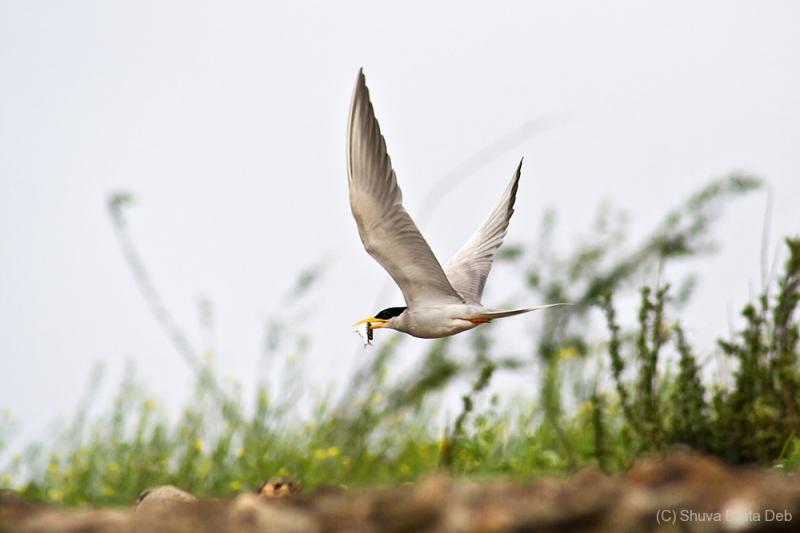 River Tern bird
