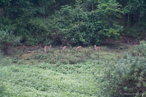 Wild Deers at Bhadra Wildlife Scantuary