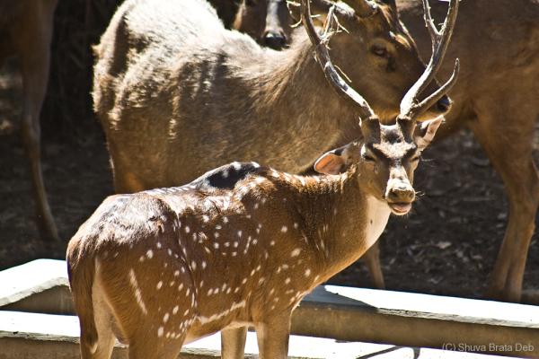Deer @ Bannerghatta Safari