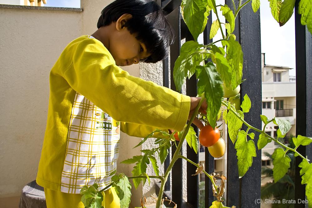 Tisha plucking tomatoes