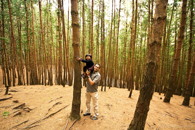 Pine forest at Kodai
