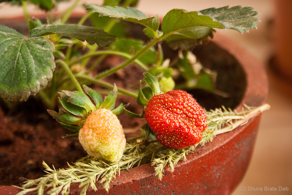 Strawberries at home