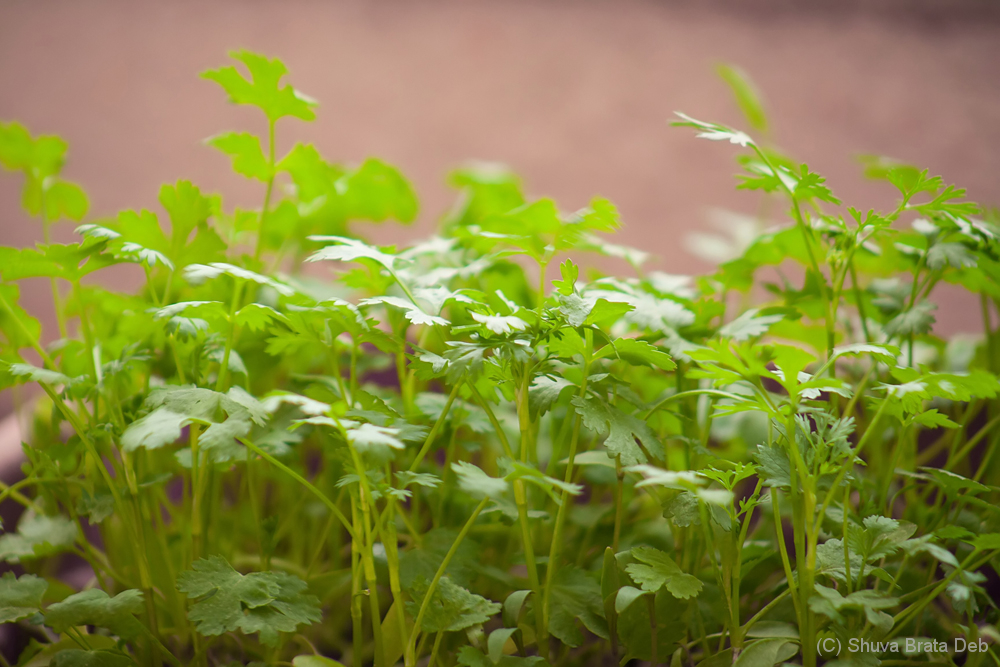 Attempt to grow Coriander leaves at home-pot