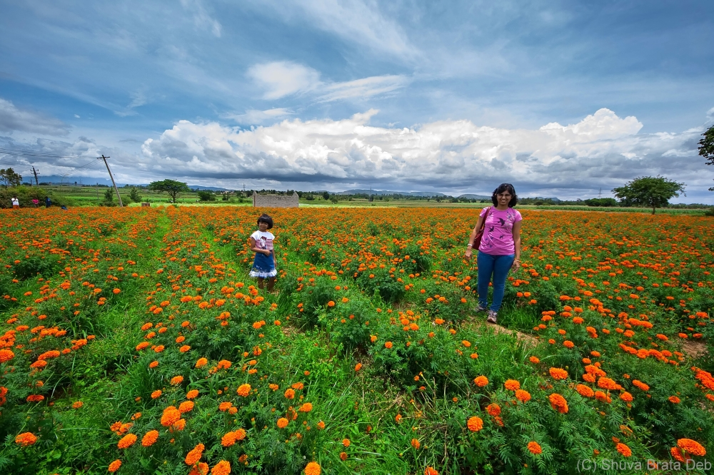 Marigold field by the highway