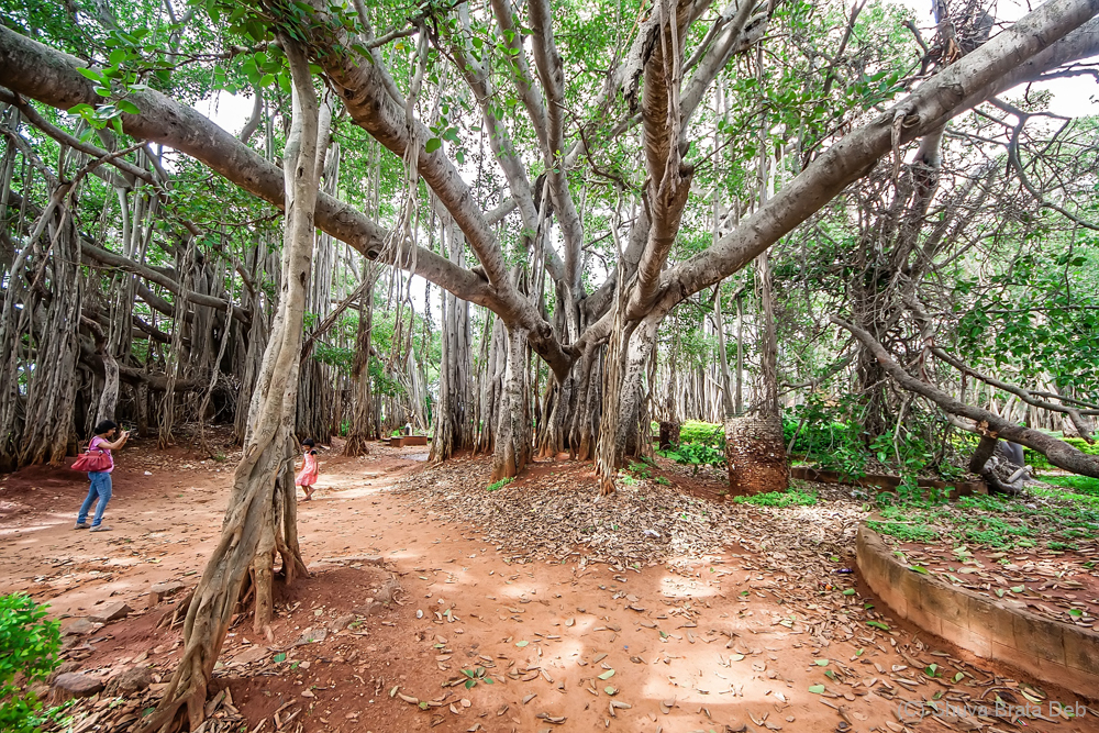 The Great Banyan Tree of Bangalore