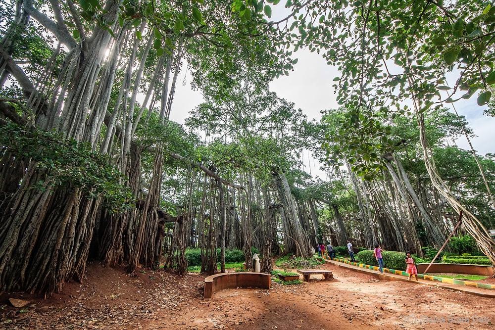 The Great Banyan Tree of Bangalore