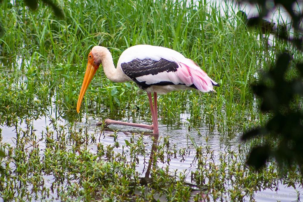 Painted Stork at KKH Lake
