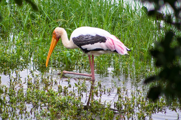 Who painted the stork pink?