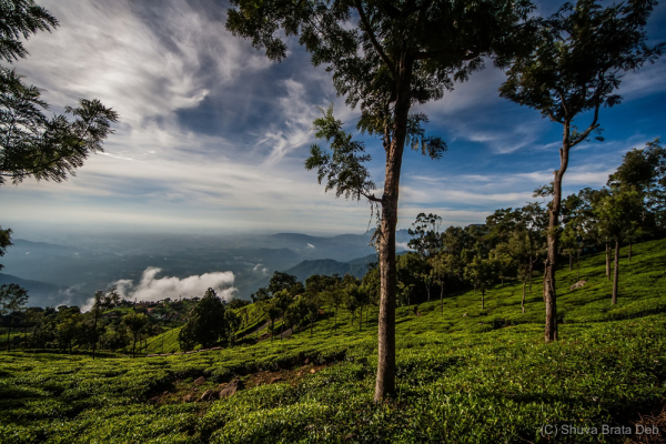 Tea Gardens of Coonoor