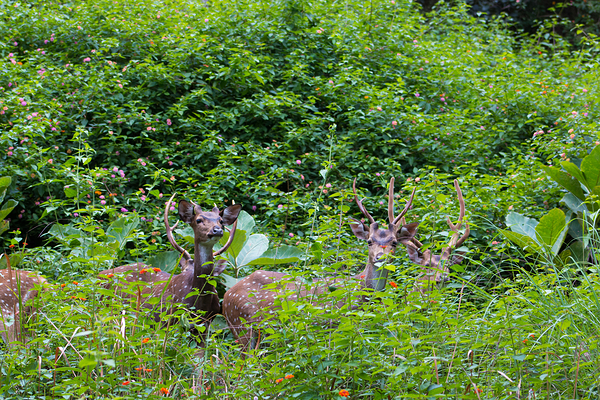 Spotted Deers seen at BRT Tiger Reserve