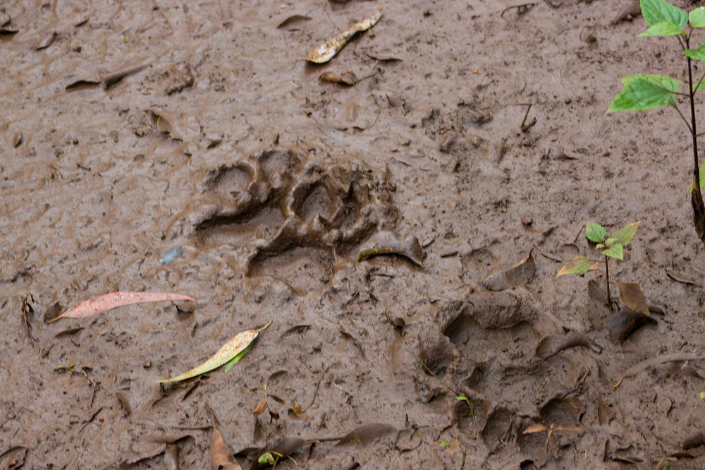Tiger Pug Marks