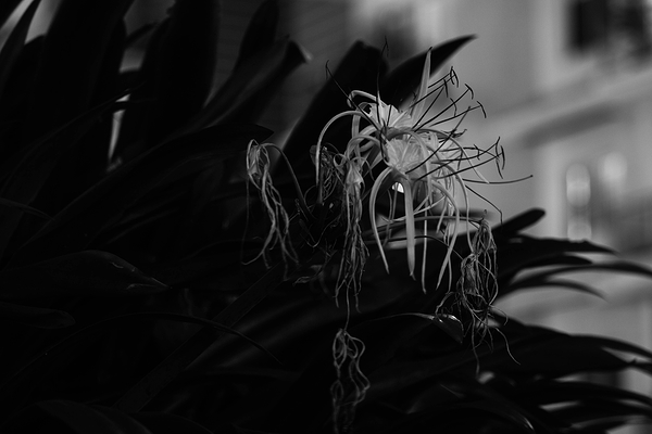 FAN   Flowers At Night   III (Spider Lily)