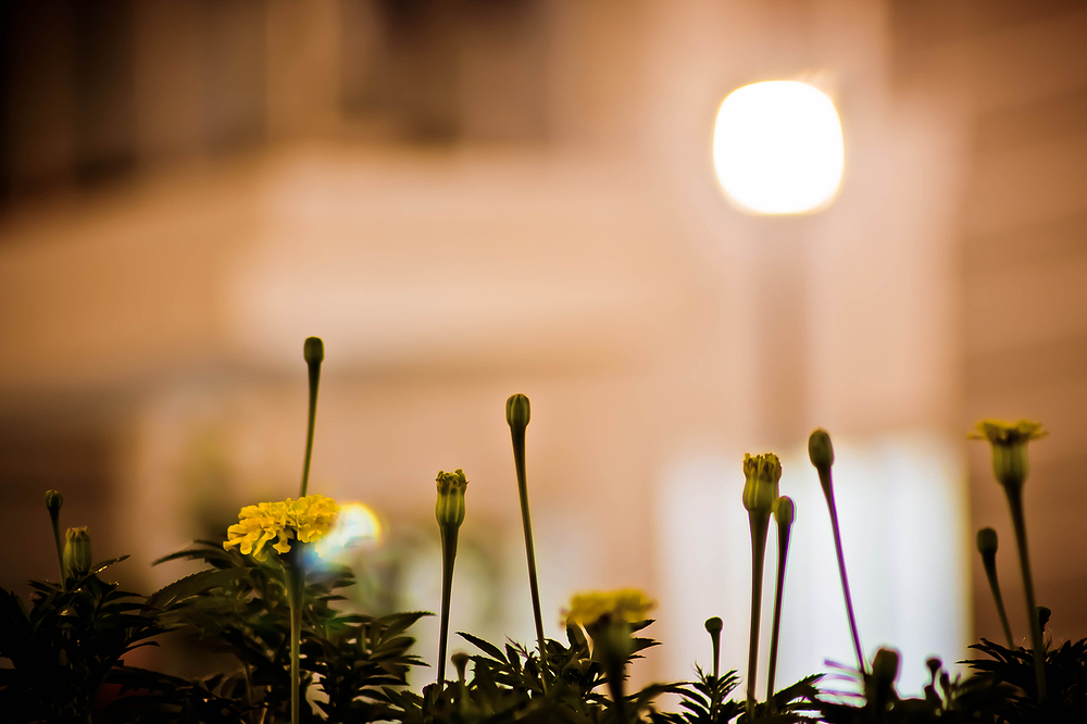 FAN - Flowers At Night - IV (Marigold)