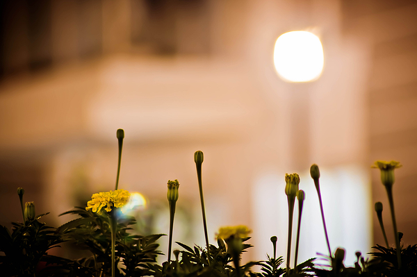 FAN   Flowers At Night   IV (Marigold)