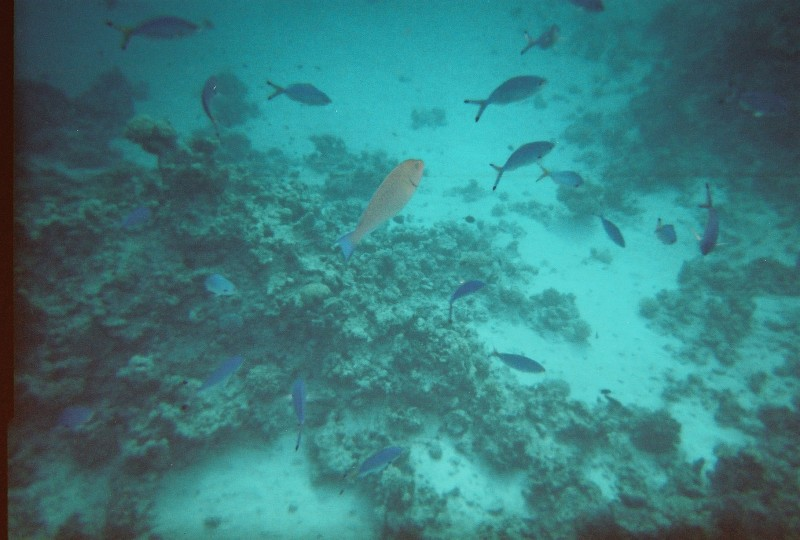 Blue fishes in the red sea