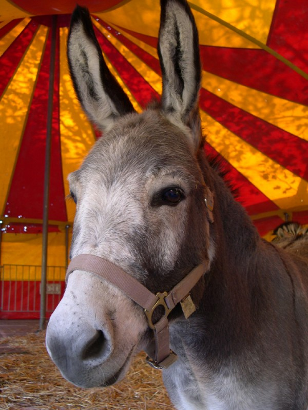 The circus donkey.