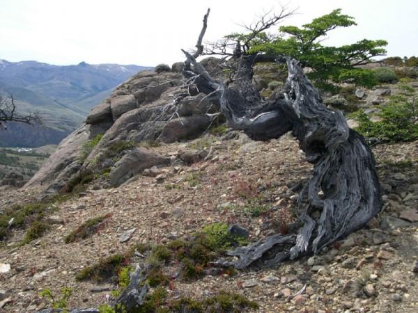 Tortured tree