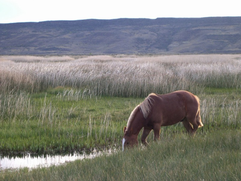 Lonely horse in the pampa