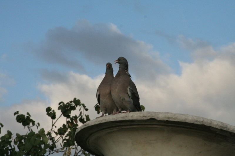 The loving pigeons