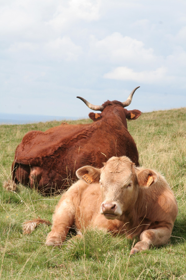 The calf and the cow