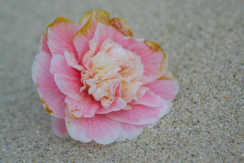 Lost flower at the beach.