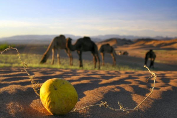 Camels eager to play football.