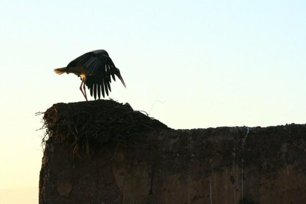 Stork taking off.