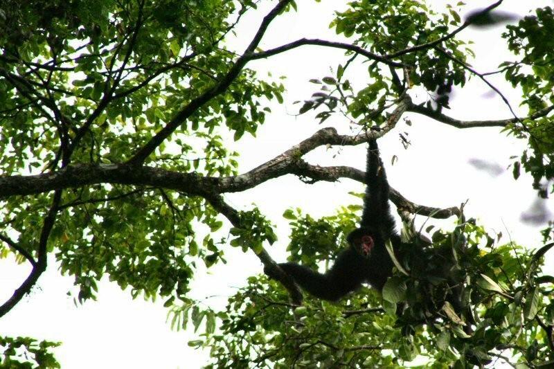 Spider Monkey II