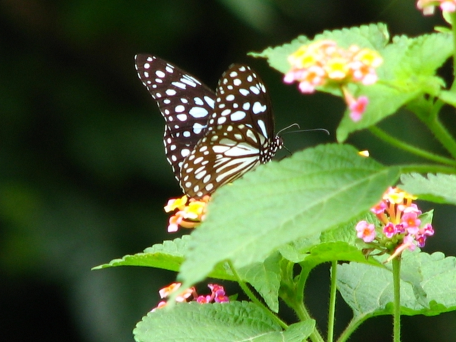 Butterfly in Pune University