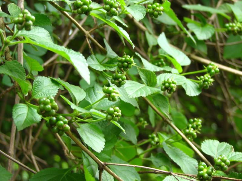 lantana fruits !