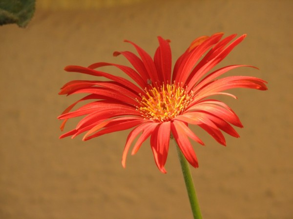Jaljeera flower