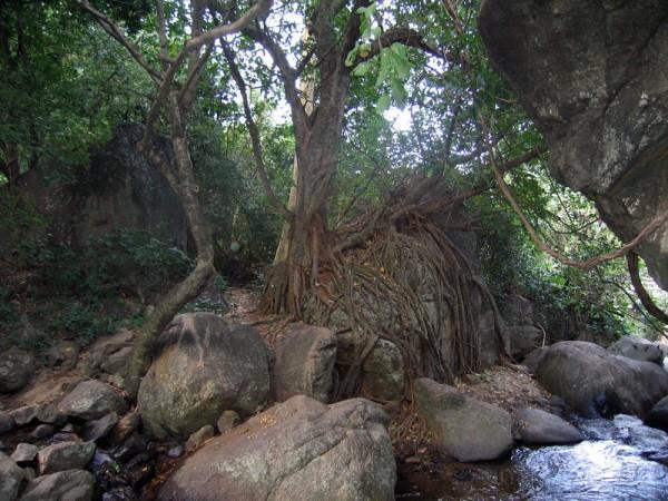 Grandfather tree