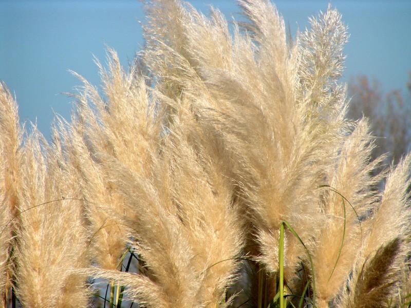 pampa grass