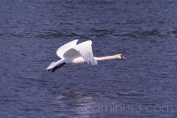 swan, water bird