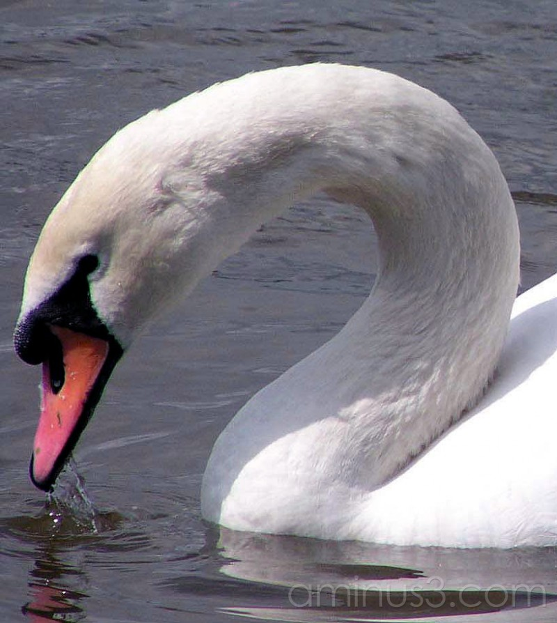 swan, river, water, bird