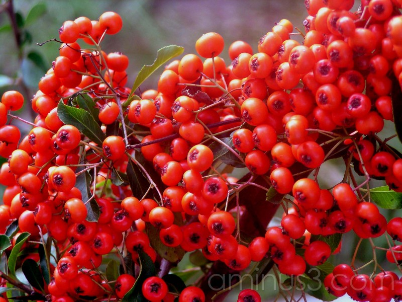 berries, fruit, red, autumn